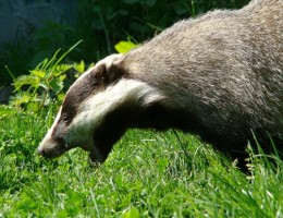 Badger-Friendly-Milk-to-Hit-Supermarket-Shelves