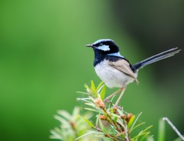 Fairy Blue Wren Bird Perched on a Branch